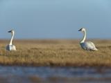 Fluitzwaan, Tundra Swan