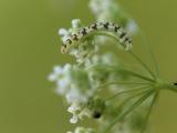 Eupithecia extraversaria