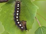 Satijnvlinder
